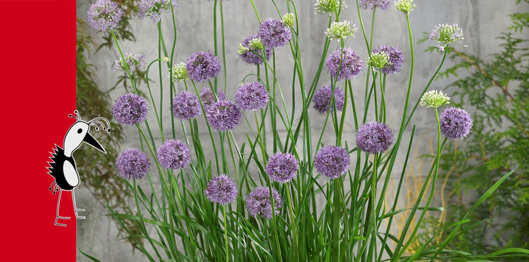 Prudac Alliums