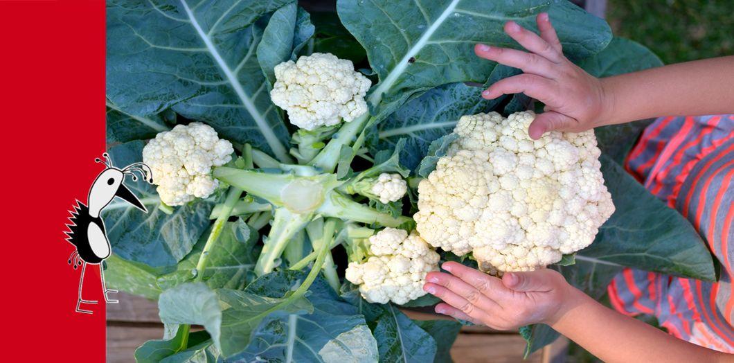 Prudac Cauliflowers