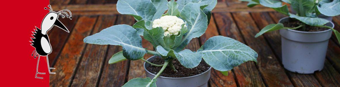 Cauliflower Baby