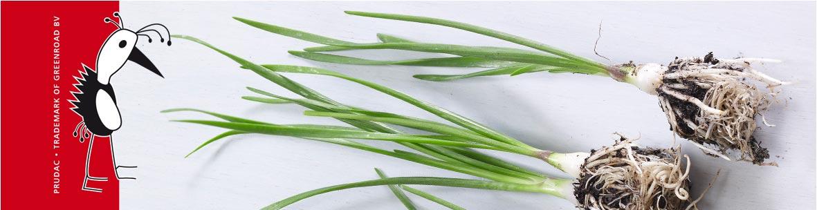 Allium Quattro F1