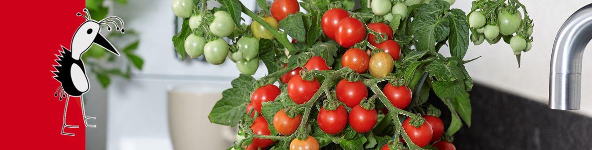 Ponchi Tomatoes