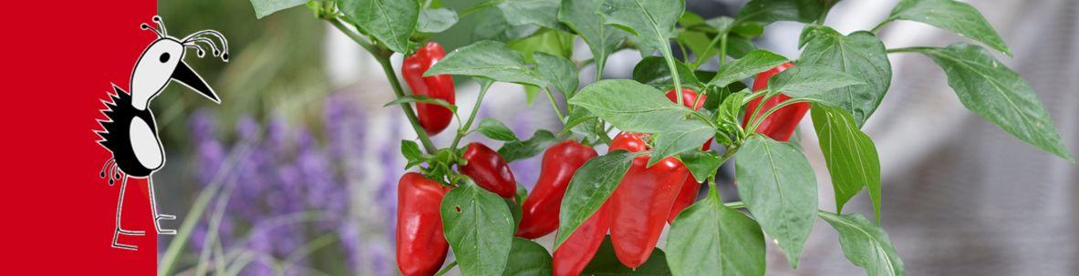 Pillar Peppers