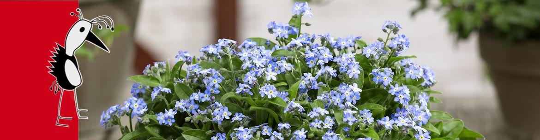 Myosotis Eva - Blue